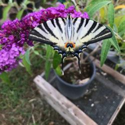 PROMO_albero-delle-farfalle